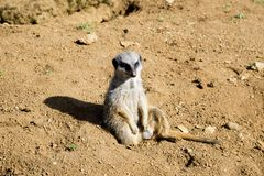 Meerkat sits and looks around Royalty Free Stock Images