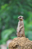 Meerkat sits on the mound Royalty Free Stock Photography