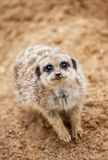 Meerkat sits on sand and looks Royalty Free Stock Photography