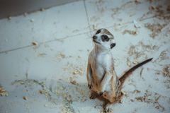 The meerkat sits on sand in the zoo Stock Images