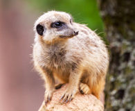 Meerkat sits on stone Stock Images