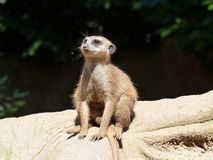 A meerkat sits on a tree Stock Photo