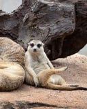 Meerkat sitter och ser omkring Arkivfoton