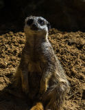 Meerkat sitting. At animal sanctuary,Mablethorpe,Lincolnshire Royalty Free Stock Photo