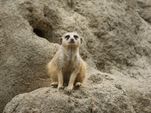 Meerkat in zoo. Meerkat sitting as sentry in Houston, Texas zoo Stock Images