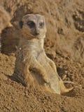 Meerkat sitting down. In sand Stock Images