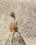 Meerkat sitting facing away turned towards viewer Royalty Free Stock Images