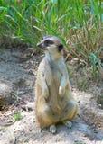 Meerkat sitting facing viewer, looking to viewers left Stock Photo