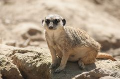 Meerkat sitting on the land Royalty Free Stock Images