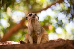 Meerkat is sitting on a little Mountain Stock Photo