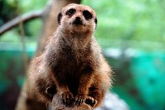 Meerkat sitting and looking Royalty Free Stock Photos