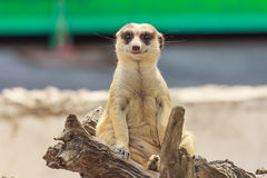 Meerkat sitting. Stock Photos