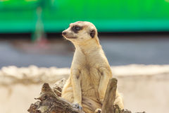 Meerkat sitting. Royalty Free Stock Images