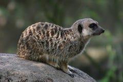 Meerkat sitting on a rock Stock Photo