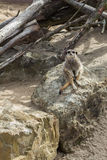Meerkat Sitting on a Rock Royalty Free Stock Images