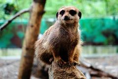 Meerkat sitting on rock Stock Photo