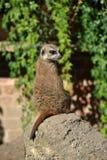 Meerkat sitting on a rock in the sun stock photo