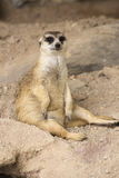 Meerkat sitting on the sand Royalty Free Stock Photos