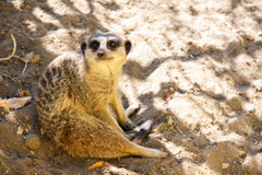 Meerkat sitting in shade Stock Photography