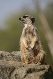 Meerkat sitting on the stone Stock Images