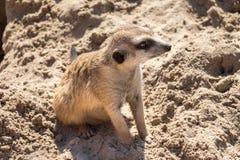 Meerkat sitting Stock Images