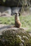 Meerkat sitting Stock Photo