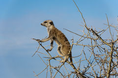 Meerkat sitting in a tree. This meerkat was sitting in the tree and watching out for enemies while the young once were playing on the ground Royalty Free Stock Image