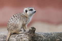 Meerkat sitting on a tree Stock Photography
