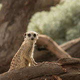 Meerkat sitting on tree trunk Royalty Free Stock Image