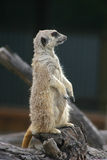 Meerkat sitting on a trunk Royalty Free Stock Images