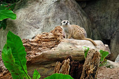 Meerkat sitting on the trunk Royalty Free Stock Images