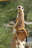 Meerkat Sitting. A meerkat sitting up on a rock Royalty Free Stock Images