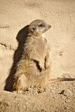 Meerkat sitting upright against a rock Royalty Free Stock Photos