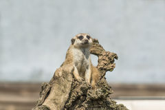 Meerkat. Sitting on wooden stump Royalty Free Stock Photos