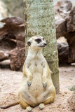 Meerkat sitting in the zoo Royalty Free Stock Images