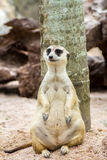 Meerkat sitting in the zoo Stock Photos