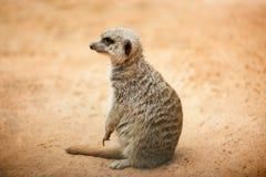 Meerkat-Sitzplätze in der Wüste Lizenzfreies Stockbild