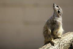 Meerkat skywatching Стоковые Фотографии RF