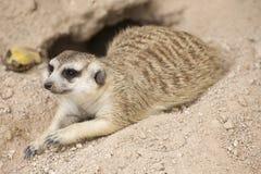 Meerkat sleep on the ground Stock Photos