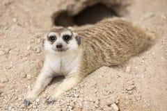 Meerkat sleep on the ground Royalty Free Stock Photography