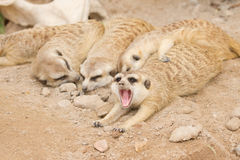 Meerkat sleep  on a sand. Royalty Free Stock Photography