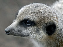 Meerkat 10 Royalty Free Stock Photos