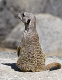 Meerkat 20 Royalty Free Stock Photography