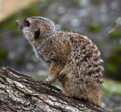 Meerkat 20 Stock Photo