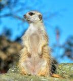 Meerkat slut upp Arkivbild