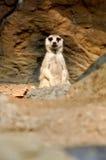 Meerkat Stock Photography