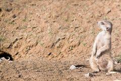Meerkat Royalty Free Stock Photos