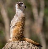 Meerkat Snello-munito (suricatta del suricata) Fotografie Stock Libere da Diritti