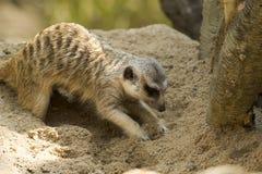Meerkat som diging en sand Royaltyfri Foto