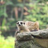 Meerkat som högt sitter på hans favorit- utkik royaltyfria bilder